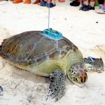 Fripper Turtle Release Clearwater Beach Bermuda August 14 2012 (1)