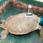 Fripper Turtle Release Clearwater Beach Bermuda August 14 2012 (5)
