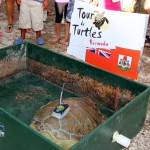 Fripper Turtle Release Clearwater Beach Bermuda August 14 2012 (7)