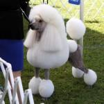 Bermuda Kennel Club Dog Show, October 20 2012 (14)