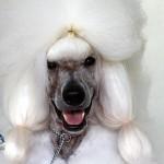 Bermuda Kennel Club Dog Show, October 20 2012 (19)
