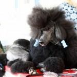 Bermuda Kennel Club Dog Show, October 20 2012 (20)