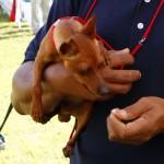 Bermuda Kennel Club Dog Show, October 20 2012 (24)