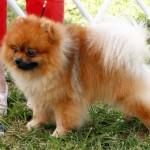Bermuda Kennel Club Dog Show, October 20 2012 (45)