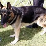 Bermuda Kennel Club Dog Show, October 20 2012 (49)