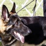 Bermuda Kennel Club Dog Show, October 20 2012 (50)