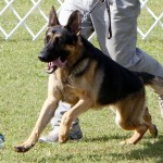 Bermuda Kennel Club Dog Show, October 20 2012 (57)