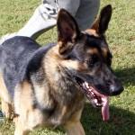Bermuda Kennel Club Dog Show, October 20 2012 (58)