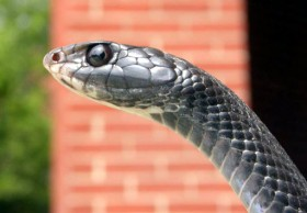 Coluber_constrictorPCCP20030612-1115B