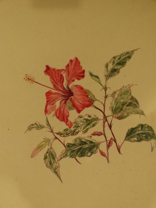 hibiscus-copy