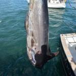 overproof marlin bermuda 2013 (9)