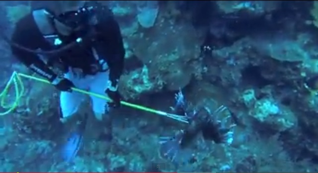 screenshot lionfish bermuda video 13