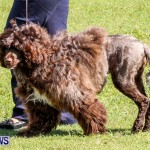 Bermuda Kennel Club BKC Dog Show, October 19, 2013-26
