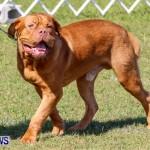 Bermuda Kennel Club BKC Dog Show, October 19, 2013-33