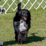 Bermuda Kennel Club BKC Dog Show, October 19, 2013-35