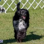Bermuda Kennel Club BKC Dog Show, October 19, 2013-35