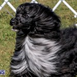 Bermuda Kennel Club BKC Dog Show, October 19, 2013-37