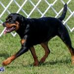 Bermuda Kennel Club BKC Dog Show, October 19, 2013-43