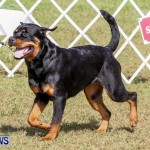Bermuda Kennel Club BKC Dog Show, October 19, 2013-45