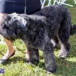 Bermuda Kennel Club BKC Dog Show, October 19, 2013-46