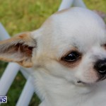 Bermuda Kennel Club BKC Dog Show, October 19, 2013-47