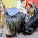 Bermuda Kennel Club BKC Dog Show, October 19, 2013-52