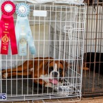 Bermuda Kennel Club BKC Dog Show, October 19, 2013-65