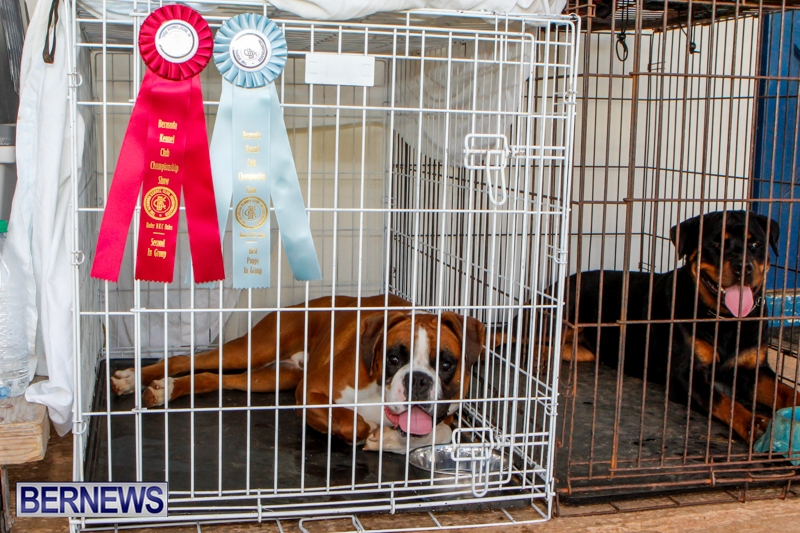 Bermuda-Kennel-Club-BKC-Dog-Show-October-19-2013-65