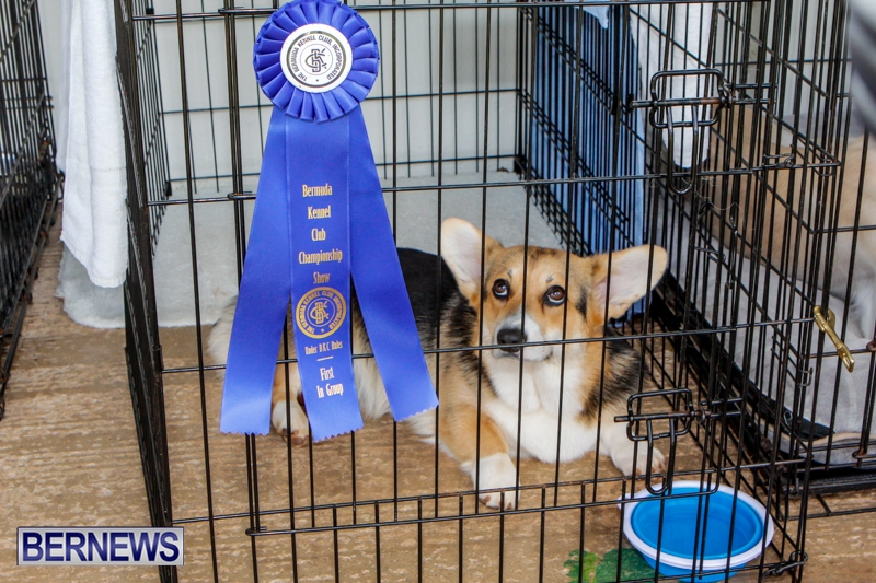 Bermuda-Kennel-Club-BKC-Dog-Show-October-19-2013-68