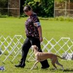Bermuda Kennel Club BKC Dog Show, October 19, 2013-8