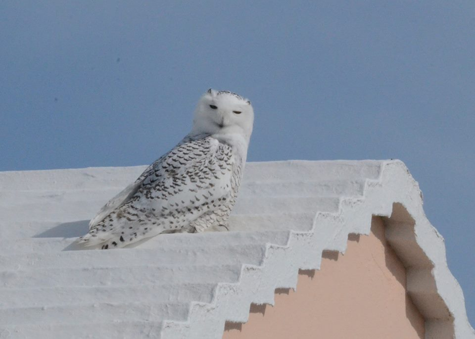 Snowy Owl Spotted Perched On Bermuda Roof Bernews
