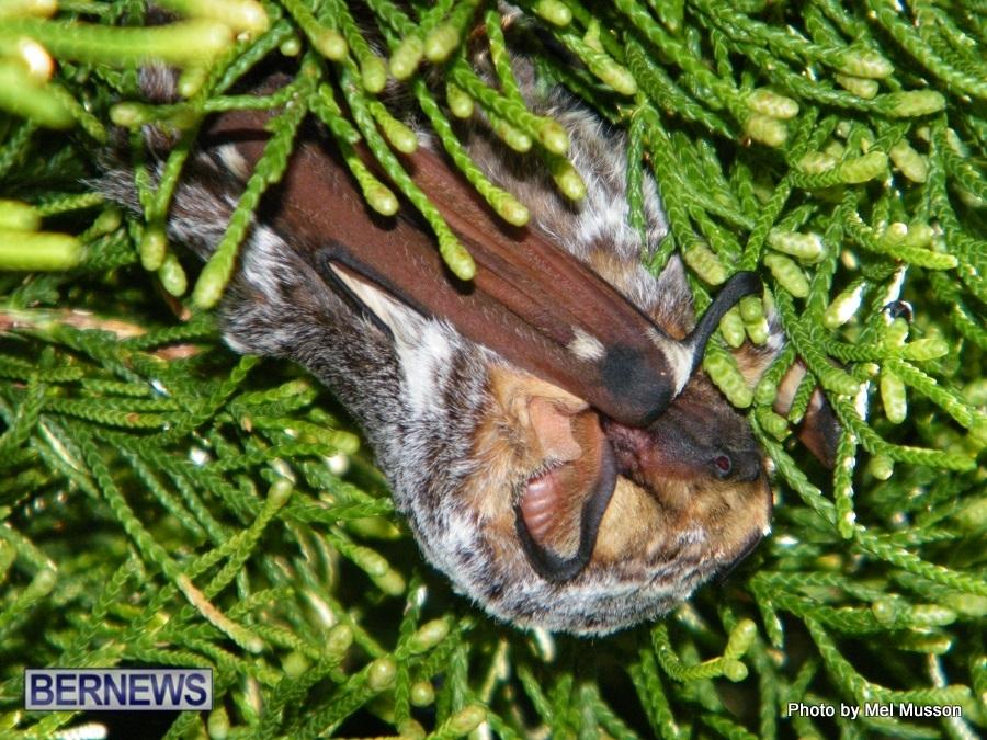 bat in somerset bermuda 2