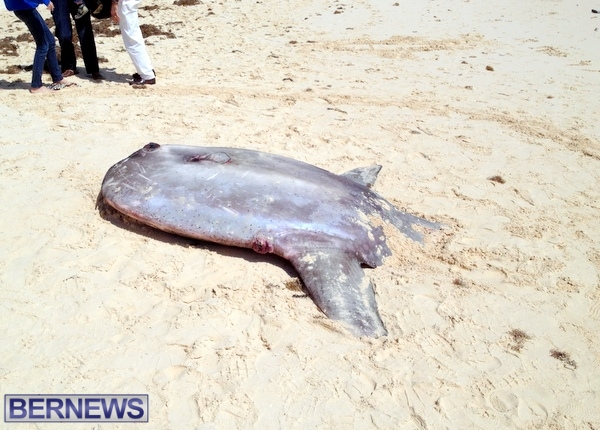 Giant sunfish Bermuda 2014 (3)