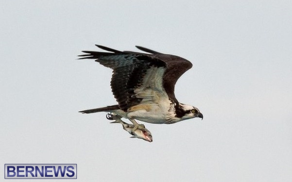 osprey bird bermuda 2014