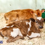 Agricultural Exhibition Bermuda, April 24 2014-21