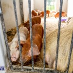 Pigs at the Agricultural Exhibition Bermuda, April 24 2014-12