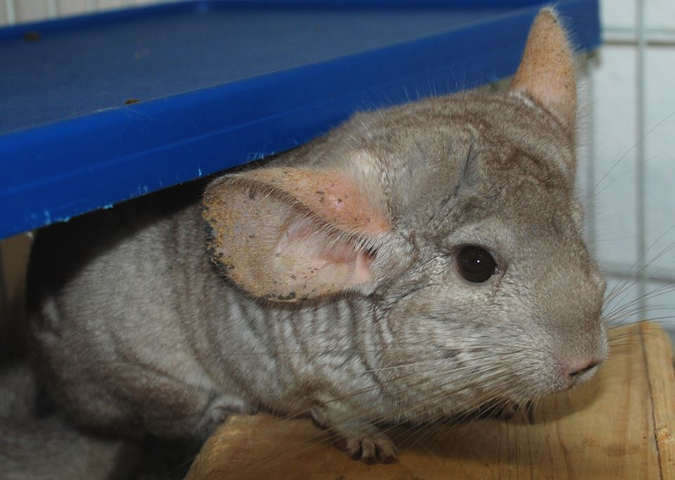 Chinchilla at SPCA Bermuda 2