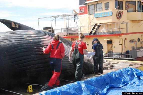 dead-whale-3