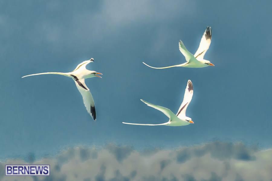 Bermuda longtail birds generic 2112