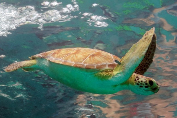 Green turtle by Ron Lucas