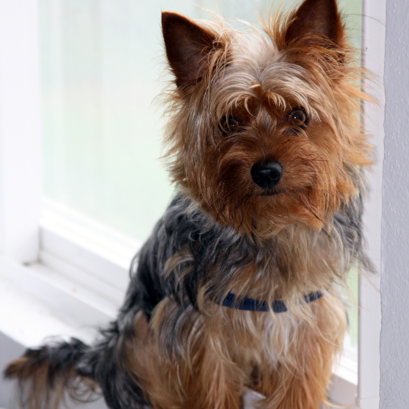 Bernews Seeks Help Finding Yorkie Dog Found Bernews