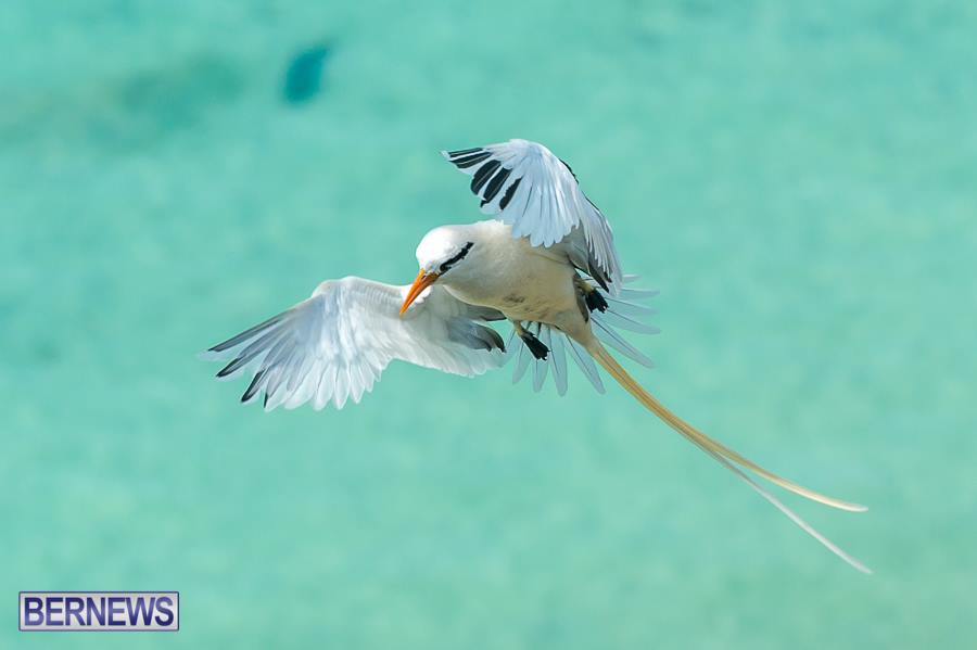 bermuda longtail bird generic 23123`