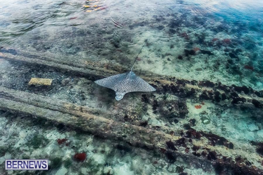 bermuda-ray-in-water-generic-231