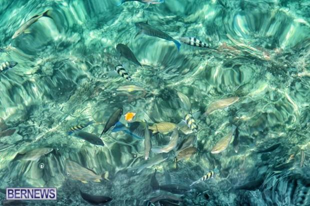 fish in bermuda water ocean sea generic 32121
