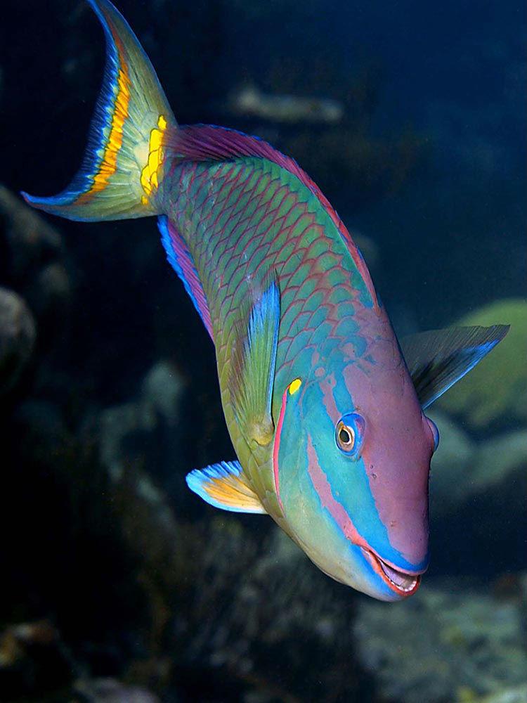Parrotfish