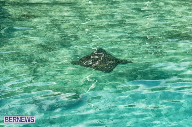 bermuda-spotted-eagle-ray