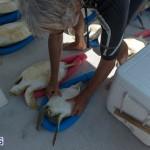 ocean vet turtle tagging aug 2014 (10)