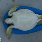 ocean vet turtle tagging aug 2014 (11)