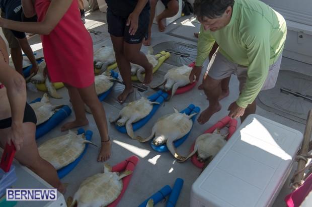 ocean vet turtle tagging aug 2014 (13)