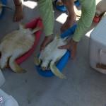 ocean vet turtle tagging aug 2014 (14)